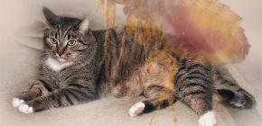 Τι να κάνετε αν μια γάτα έχει ψύλλους