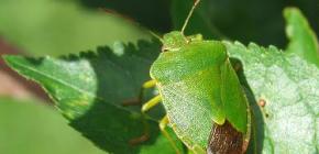 Ξύλο bug (shivnik)
