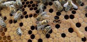 Η χρήση του υποστρώματος μελισσών για τη θεραπεία ασθενειών