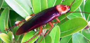 Αμερικανικές κατσαρίδες