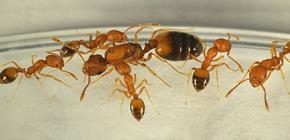 Από πού προέρχονται τα μυρμήγκια στο σπίτι και πρέπει να τους φοβάσαι