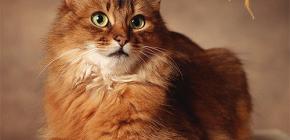 Πώς να απαλλαγούμε από τους ψύλλους από μια γάτα: εμείς το δικό μας κατοικίδιο ζώο