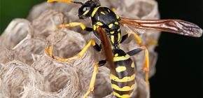 Πώς μπορώ να αφαιρέσω με ασφάλεια τις σφήκες από το σπίτι, καθώς και από τη νάχα