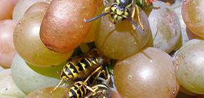 Πώς να προστατεύετε τη συγκομιδή από σφήκες και να την προστατεύετε για όλη την περίοδο ωρίμανσης
