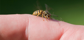 Το δηλητήριο της σφήκας: είναι καλό για το ανθρώπινο σώμα και πώς λειτουργεί