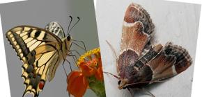 Γιατί ο σκώρος δεν έχει proboscis - δεν είναι πεταλούδα;