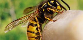 Είναι χρήσιμα ή, αντίθετα, επιβλαβή για την ανθρώπινη υγεία τα τσιμπήματα των σφήκες;