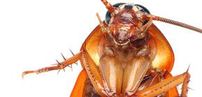 Φωτογραφίες διαφορετικών τύπων κατσαρίδων