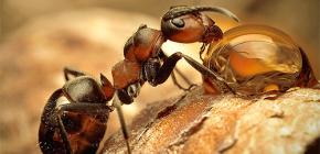 Φωτογραφίες από διάφορα είδη μυρμηγκιών και ενδιαφέροντα χαρακτηριστικά της ζωής τους