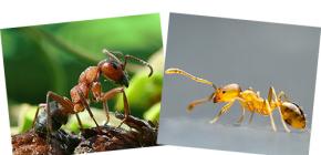 Σχετικά με τα κόκκινα δάση και τα οικιακά μυρμήγκια, καθώς και τις διαφορές τους