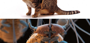 Οι γάτες έχουν ψείρες και πώς να αφαιρούν μικρά παράσιτα από τα μαλλιά κατοικίδιων ζώων