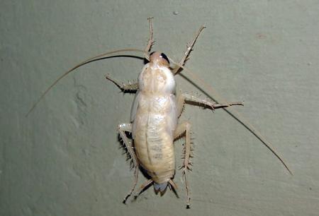 Λευκές κατσαρίδες στο διαμέρισμα - τι είδους αλμπίνο είναι;