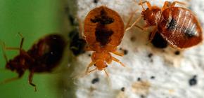 Τι θα πρέπει να είναι ο θάνατος των bedbugs στο διαμέρισμα: μια επισκόπηση αξιόπιστων μέσων και χρήσιμες συμβουλές