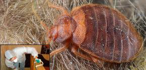 Καταστροφή bug bugs στη Μόσχα: πού να πάει και πόσο κοστίζει