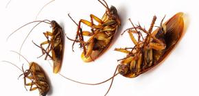 Οικόπεδα κατά των κατσαρίδων