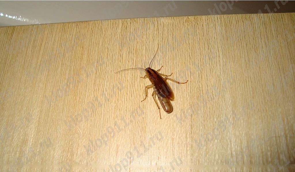 Θηλυκό κατσαρίδα με αυγό (οίδημα)