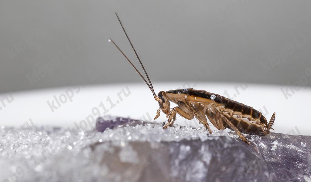 Παρθένες κατσαρίδες