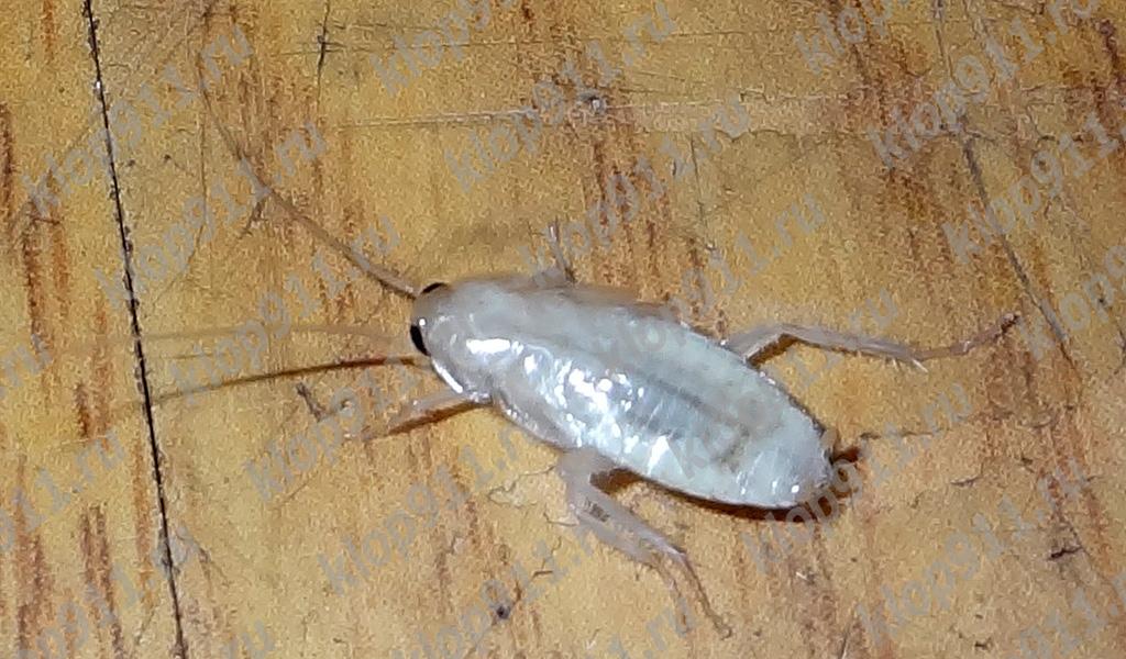Albino κατσαρίδα