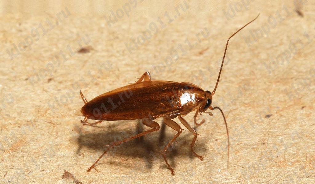Κόκκινη κατσαρίδα