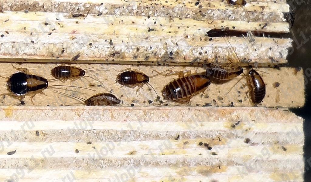 Η συσσώρευση των νυμφών κόκκινη κατσαρίδα στα έπιπλα